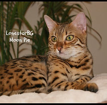 Dallas Texas Bengal Kittens For Sale