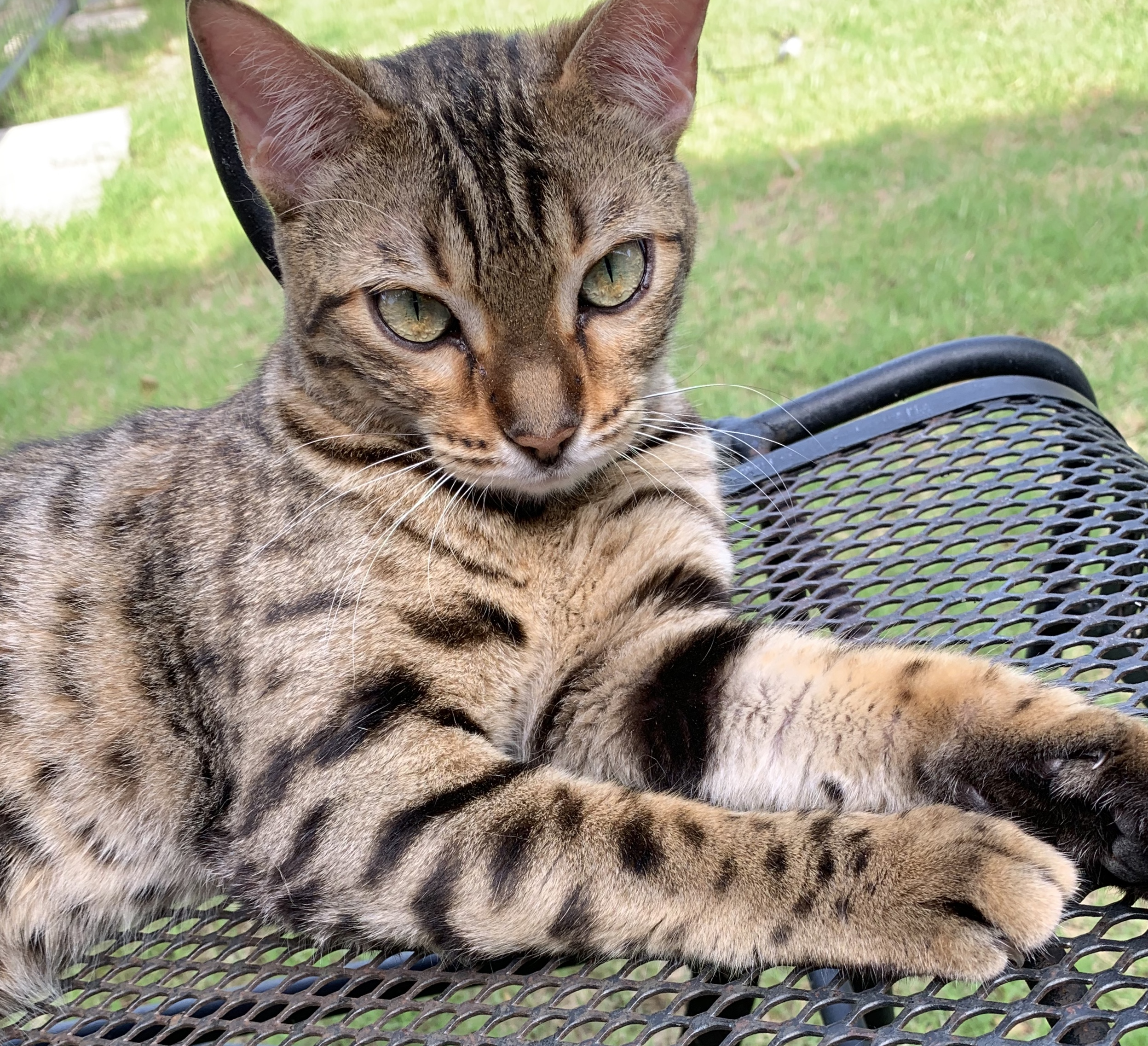 brown spotted bengal cat texas
