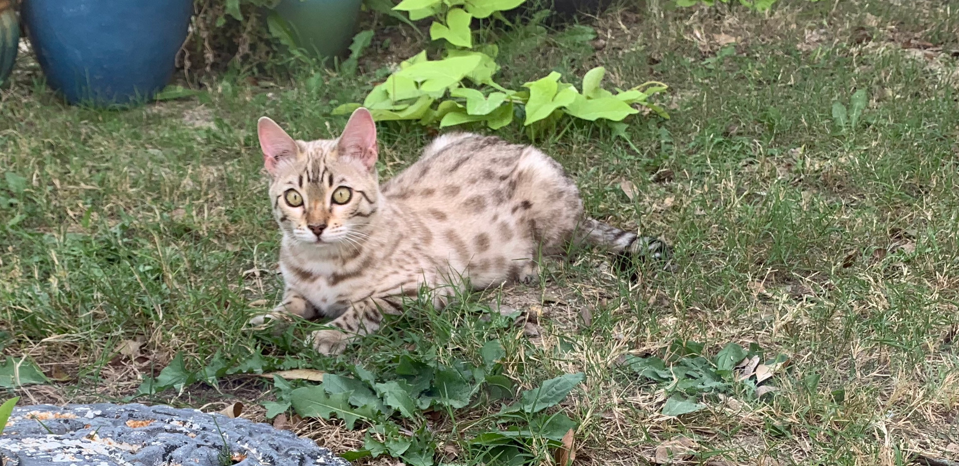 quality snow bengal kitten cat spo
