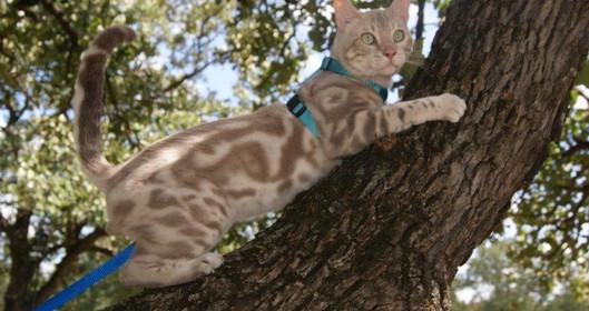 quality bengal cat kitten Dallas