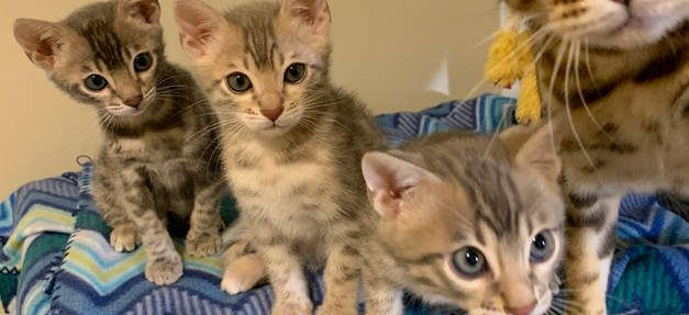 bengal cat kitten spot texas dallas
