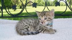 bengal kittten for adoption
