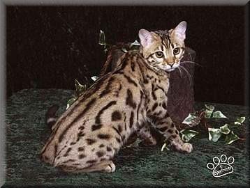 quality bengal cat