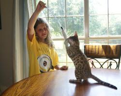texas bengal kitten cat