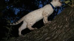 seal lynx point snow bengal texas