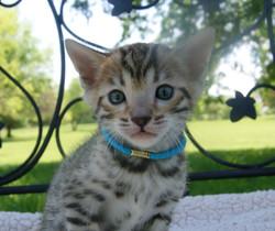 bengal kittens in texas