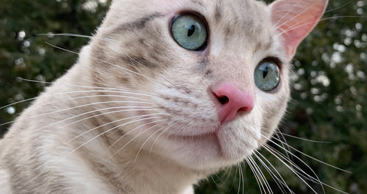 blue bengal cat kitten texas quality