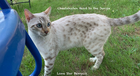 quality snow bengal cat texas