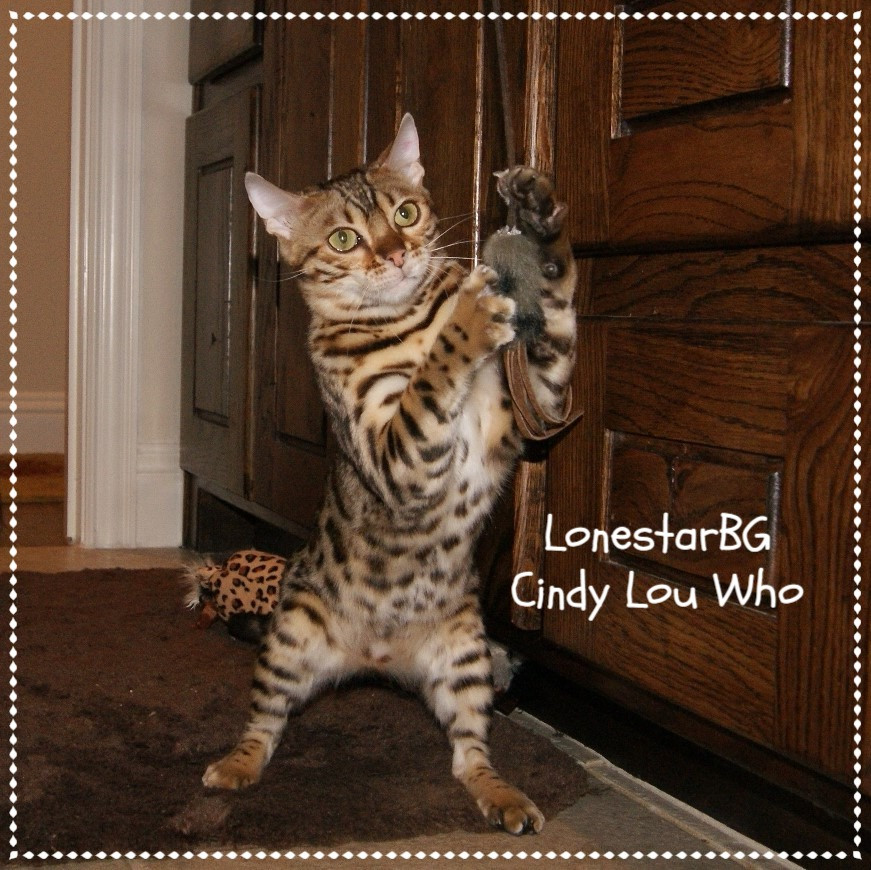 quality bengal breeder