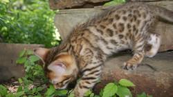 male bengal kitten