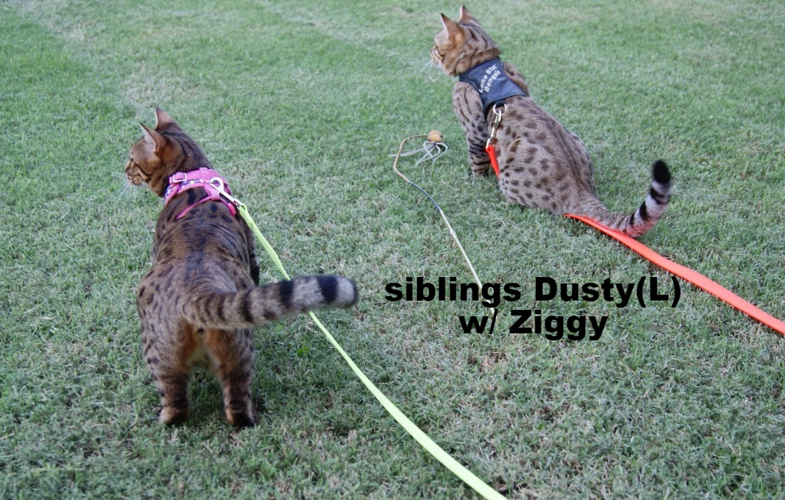 bengal kittens cats junglebook