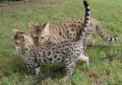 bengal kitten dallas texas