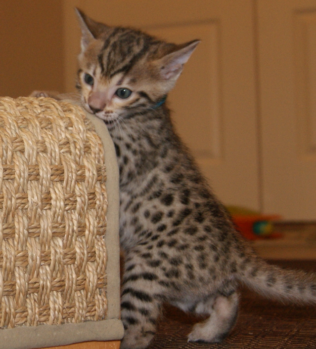 bengal kittten for adoption