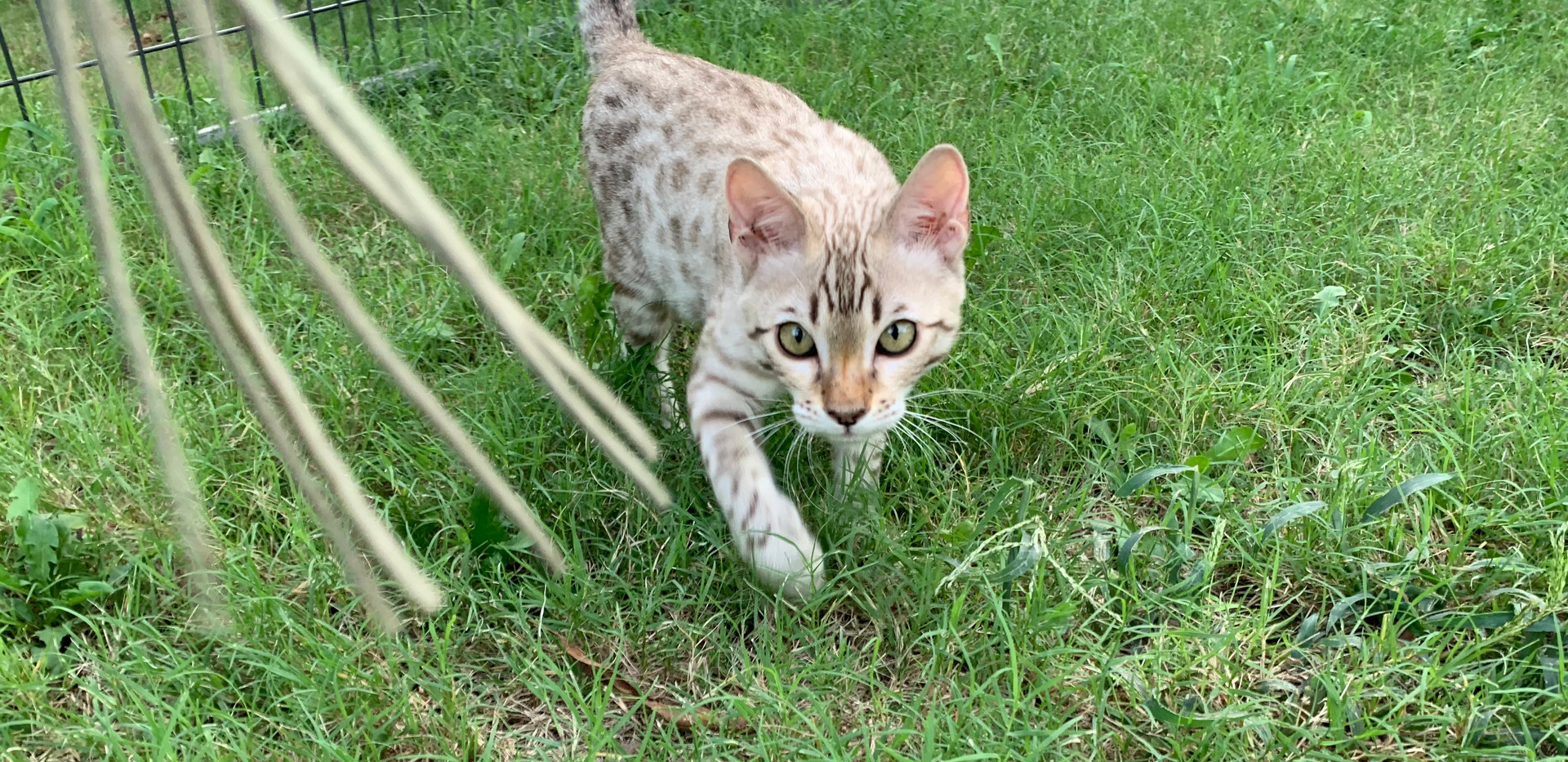 quality bengal cat spot texas