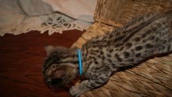 quality bengal kitten available