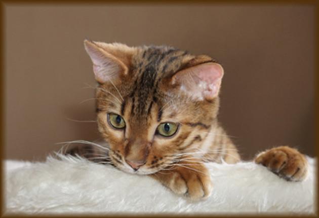 retired bengal cat