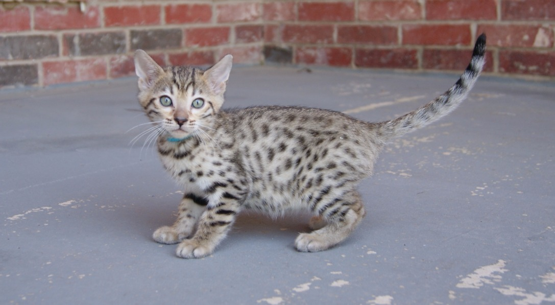 bengal kittens in texas