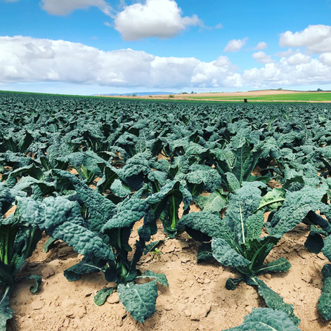 Organic Bunched Kale