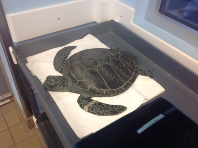 14-Turtle in care facility.JPG