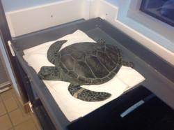 14-Turtle in care facility.JPG