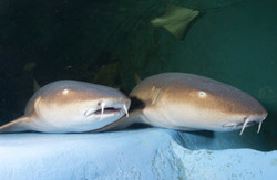 15-Sharks.jpg