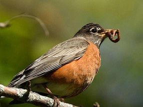 Week 13 – The Mighty Robin!