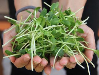 Les graines germées : un concentré de vie !