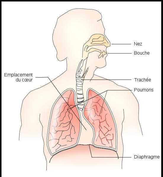 Rôle du diaphragme
