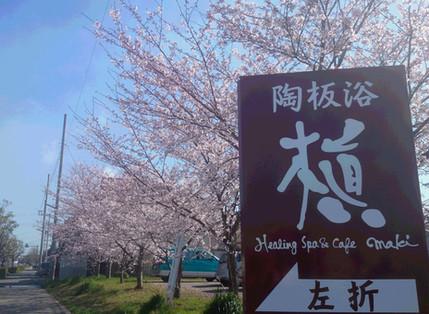 桜が見頃です♪