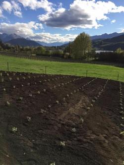Lavender Grosso Mass Planting