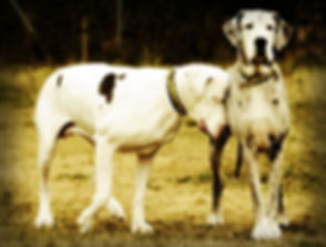Blind_Lily_great_dane_and_Maddison.jpg
