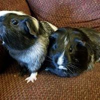 Guinea Pigs.jpg