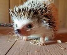 Hedgehog_edited.jpg