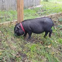 Daisy Pig.jpg