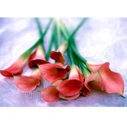 Cala lillies bunch