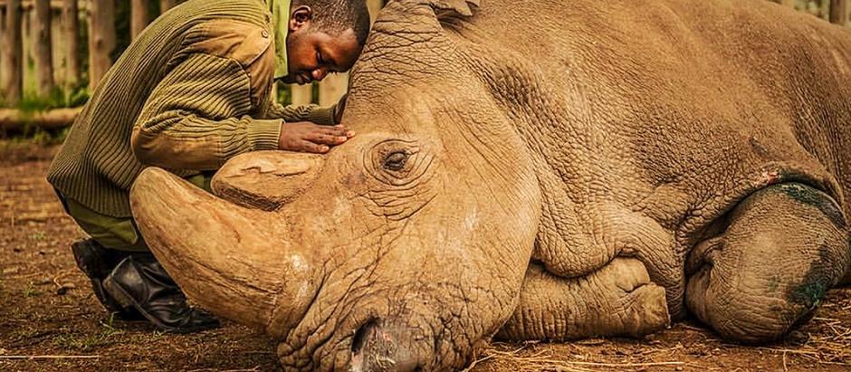 The last gentle giant of his species