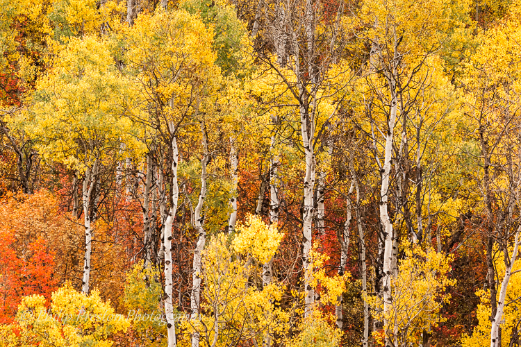 Aspens, Montana