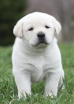 Kohler Creek yellow lab puppy