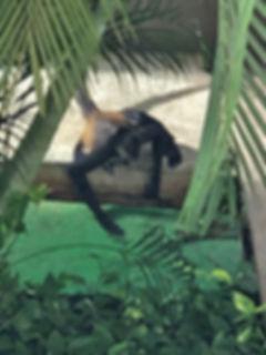 HR 714 more monkey business.jpg