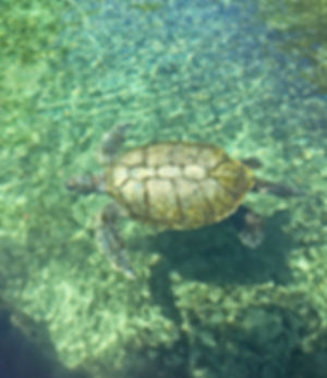 HR 715 turtle.jpg
