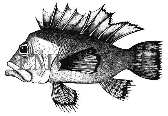 Snapper Fish