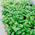 Green Pothos