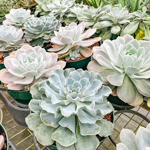 "6"" Assorted Succulents"