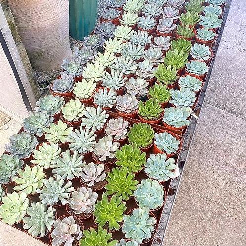 "2"" Assorted Succulents"