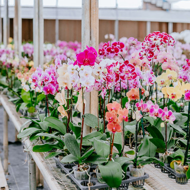 Colored Phals
