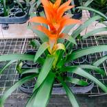 Guz. Orangeade