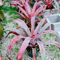 Aec. Tropic Torch Red