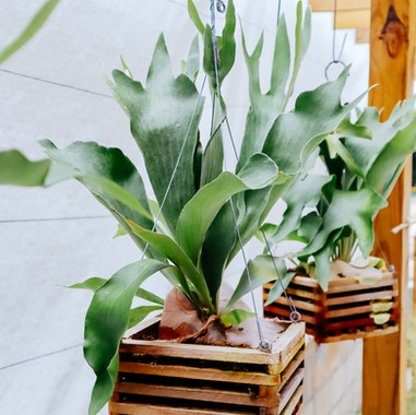 Staghorn Fern Basket