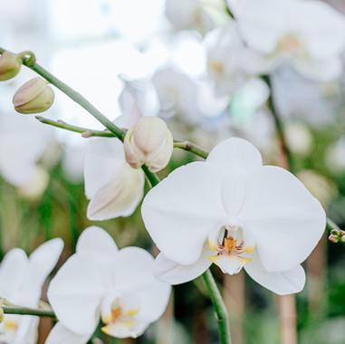 White Phals