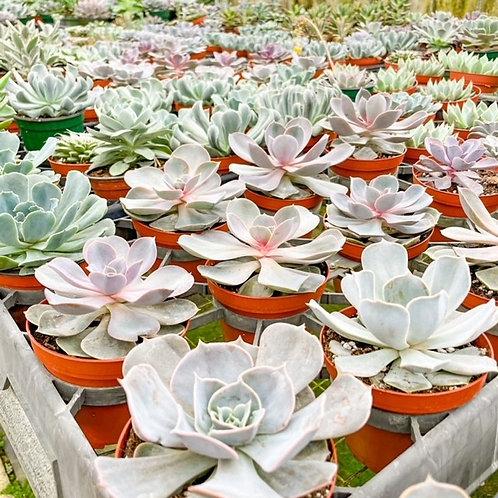 "4"" Assorted Succulents"